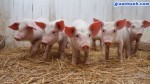Làm giàu từ chăn nuôi lợn